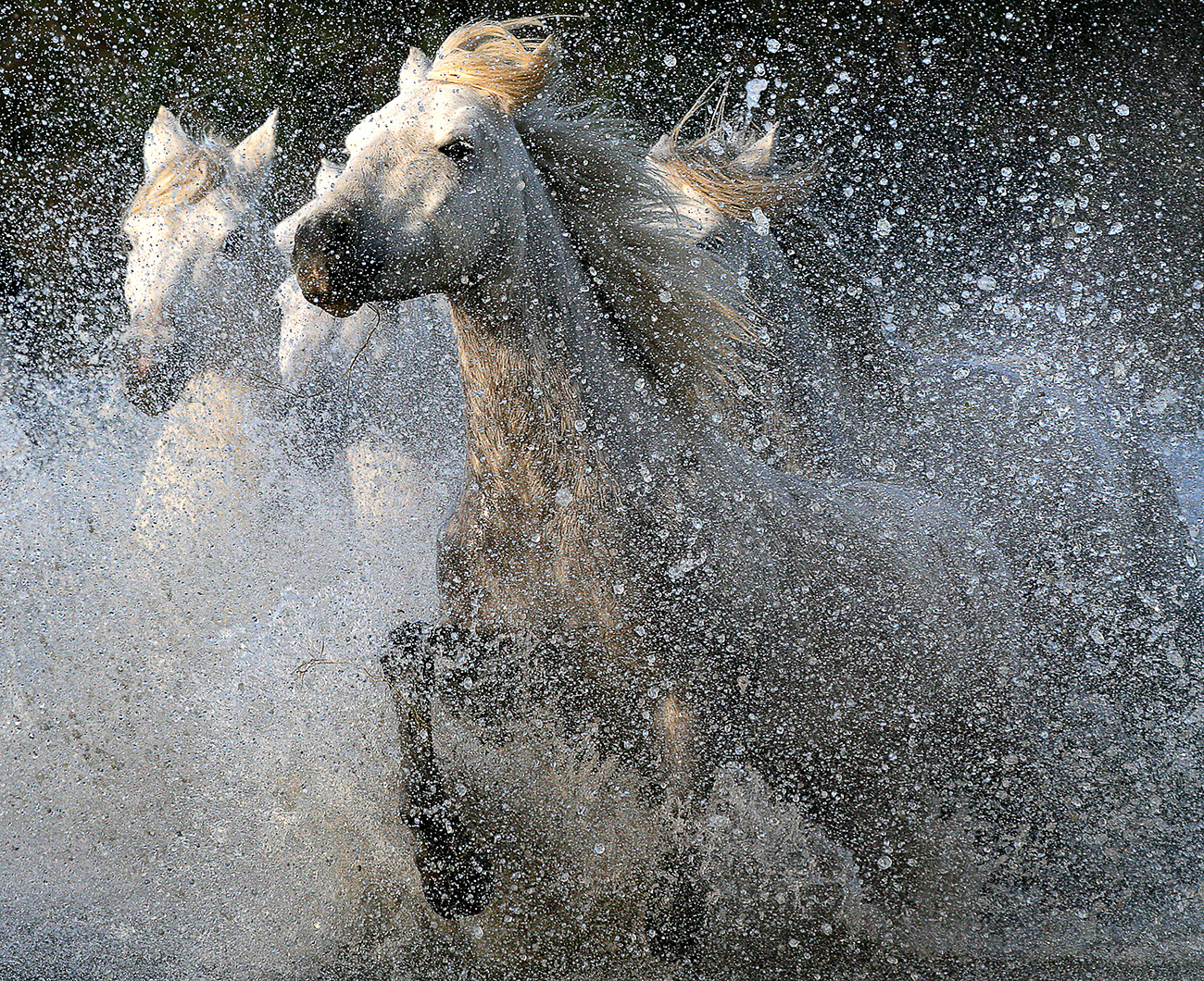 Camargue horses by Lisa Mardell
